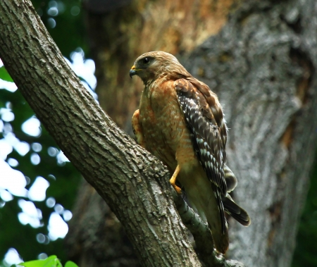 shouldered: Red shouldered Hawk perching in a tree in dense woodland in Maryland during the summer