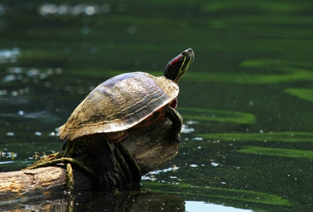 Large adult Red-eared Slider basking in the sun on a log in a lake in Maryland photo