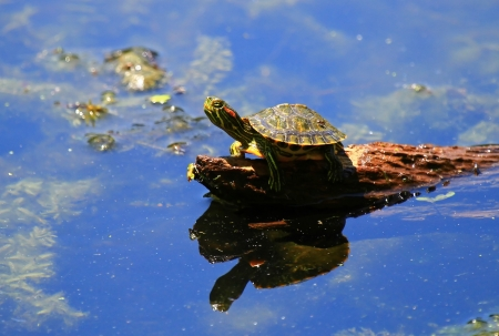 wetland conservation: Tiny baby Red-eared Slider basking in the sun on a log in Maryland Stock Photo