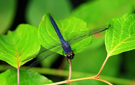Slaty Skimmer dragonfly sitting on leaves in Maryland during the summer photo