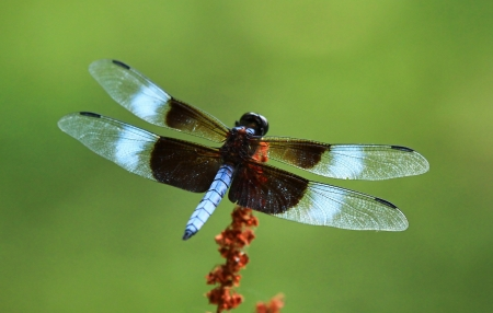 Male Widow Skimmer dragonfly resting on a wild flower head in Maryland during the summer