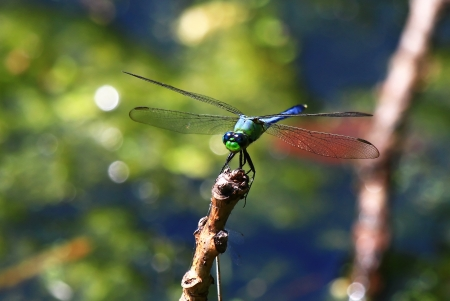 erythemis: Male Eastern Pondhawk dragonfly sitting on a twig by a lake in Maryland during the summer