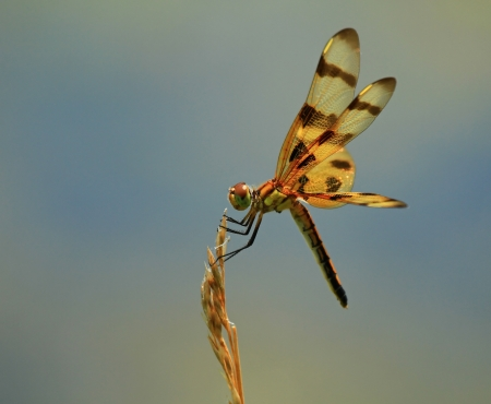 pruinescence: Female Halloween Pennant dragonfly resting on a wild grass stem in Maryland during the summer