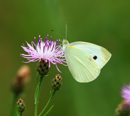 Cabbage White butterfly feeding on nectar from a wildflower in Maryland during the summer photo