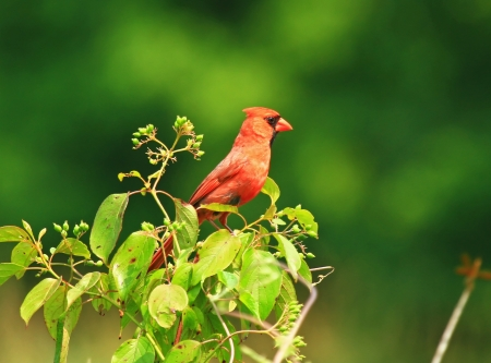 Male Northern Cardinal bird perching in a bush in Maryland during the summer photo