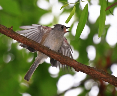 Young Tufted Titmouse fledgling perching in a tree and begging for food in Maryland during the summer photo