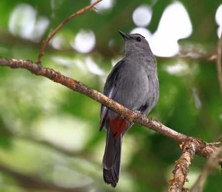 dumetella: Gray Catbird perching in a tree in Maryland during the summer