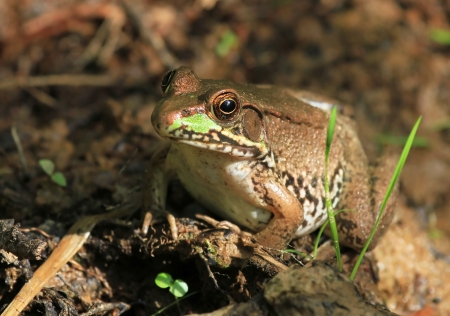 mottling: Northern Green Frog sitting on wet mud in Pennsylvania during the summer