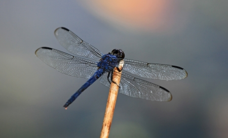Slaty Skimmer dragonfly perching on a twig in Maryland during the summer