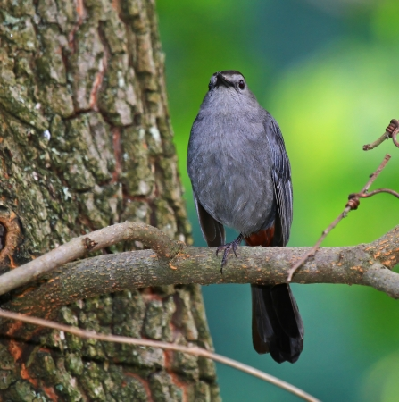 catbird: Gray Catbird resting on one leg in a tree in dense woodland in Maryland