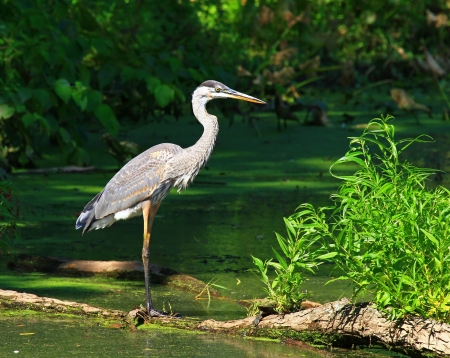 Great Blue Heron standing on a log in a lake in Maryland during the summer