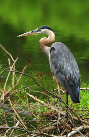 Great Blue Heron standing by a lake in Maryland during the summer