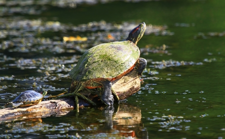 Two Red-Eared Slider pond turtles basking in the sun on a log in Maryland during the summer photo