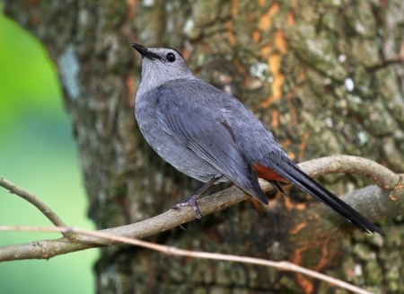 catbird: Gray Catbird perching in a tree in woodland in Maryland during the summer Stock Photo