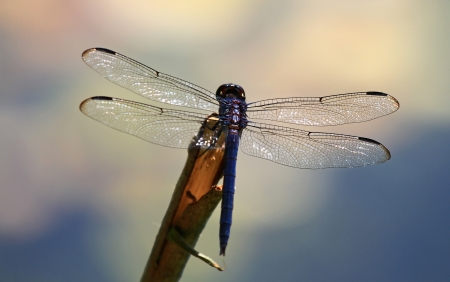 Slaty Skimmer dragonfly resting on a twig by a lake in Maryland during the summer Stock Photo