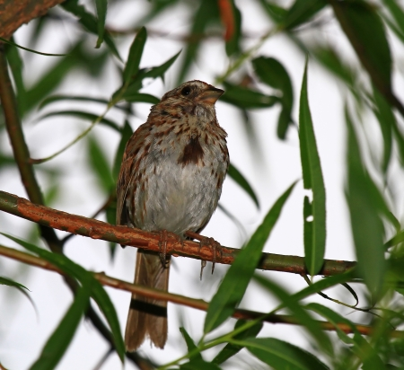 Male Song Sparrow perching in a tree in Maryland during the summer  Imagens