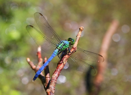 Eastern Pondhawk dragonfly resting on a twig in Maryland during the summer