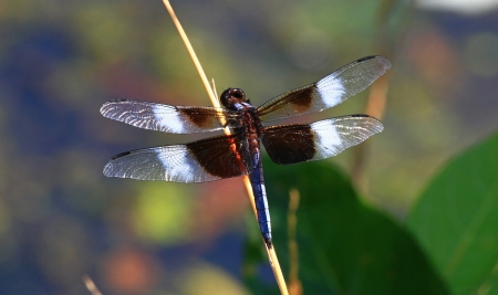 pruinescence: Widow Skimmer dragonfly sitting on a wild grass stem in Maryland during the summer
