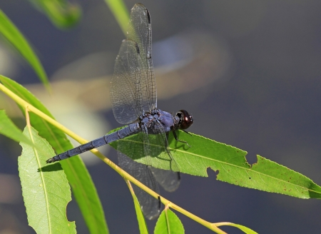 pruinescence: Slaty Skimmer dragonfly sitting on a leaf in Maryland during the summer