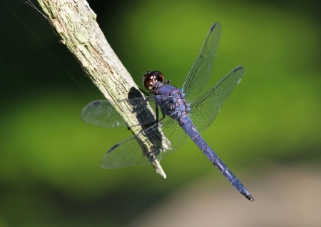 Slaty Skimmer dragonfly sitting on a twig in Maryland during the summer
