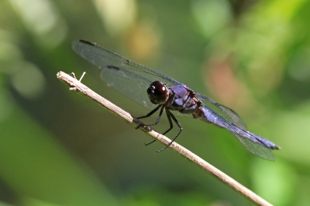 Slaty Skimmer dragonfly sitting on a grass stem in Maryland during the summer