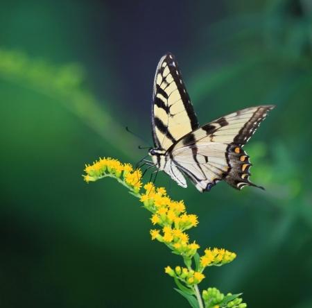 夏の間にアキノキリンソウ メリーランド州の野生の花の供給東虎アゲハチョウ 写真素材