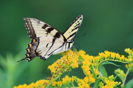 Eastern Tiger Swallowtail butterfly feeding on Goldenrod wildflowers in Maryland during the summer Archivio Fotografico