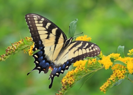 Eastern Tiger Swallowtail butterfly feeding on Goldenrod wildflowers in Maryland during the summer