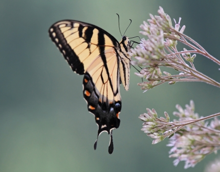 Eastern Tiger Swallowtail butterfly feeding on Joe-Pye Weed wildflowers in Maryland during the summer
