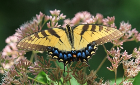 Eastern Tiger Swallowtail butterfly feeding on Joe-Pye Weed wildflowers in Maryland during the summer photo