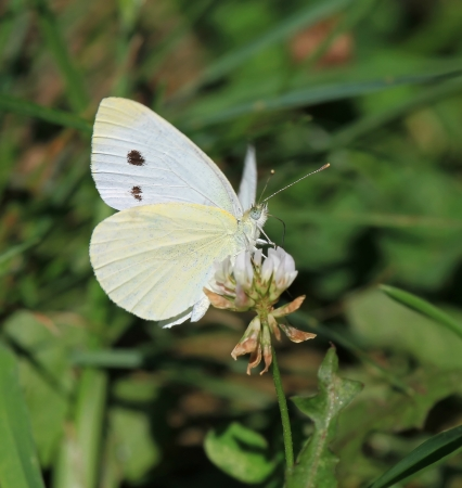 Cabbage White butterfly feeding on White Clover wildflowers in Maryland during the summer Stock Photo