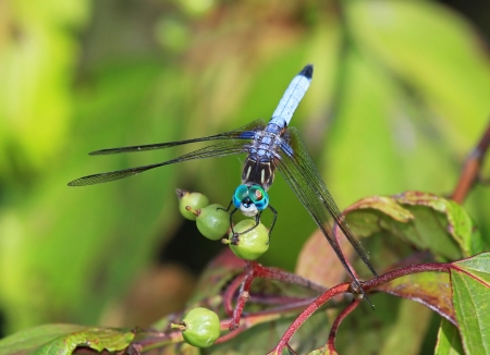 Male Blue Dasher dragonfly resting on a plant stem in Maryland during the summer photo