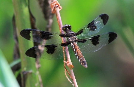 Female Common Whitetail dragonfly resting on a plant stem by a lake in Washington DC during the summer Stock Photo