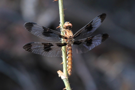 pruinescence: Female Common Whitetail dragonfly resting on a plant stem by a lake in Washington DC during the summer Stock Photo