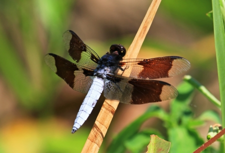 Male Common Whitetail dragonfly resting on a reed stem by a lake in Washington DC during the summer Stock Photo