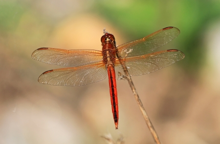 odonatology: Male Needhams Skimmer dragonfly perching on a twig by a lake in Washington DC  during the summer