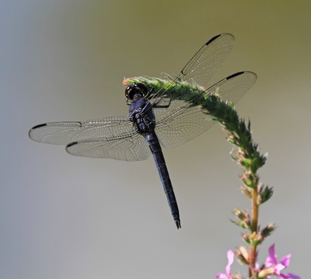 Slaty Skimmer dragonfly sitting on a wildflower stem in Maryland during the summer photo