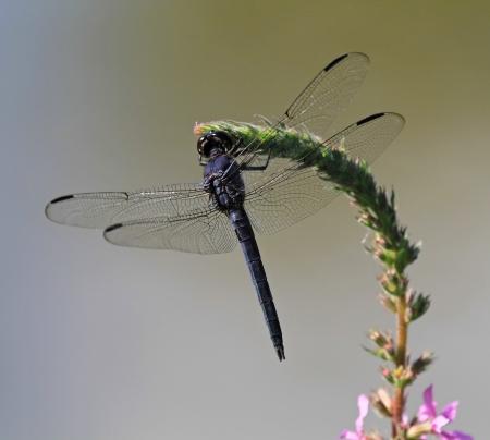 incesta: Slaty Skimmer dragonfly sitting on a wildflower stem in Maryland during the summer