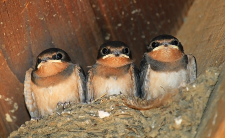 Three young Barn Swallow chicks getting ready to fledge the nest in Maryland during the summer photo
