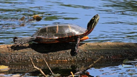 Eastern Painted Turtle basking in the sun on a log in Maryland during the summer Stock Photo