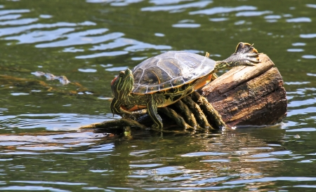 Red-eared Slider pond turtle basking in the sun on a log in Maryland during the summer photo