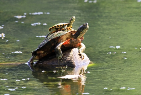 cooter: Northern Red-bellied Cooter turtle basking in the sun with a small Red-eared Slider turtle sitting on top of its carapace in Maryland during the summer