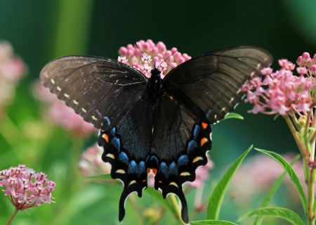 north american butterflies: Black Swallowtail butterfly feeding on Joe Pye weed in Maryland during the summer