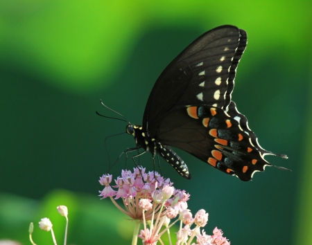 Black Swallowtail butterfly feeding on Joe Pye weed in Maryland during the summer photo