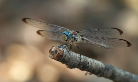 odonatology: Juvenile male Great Blue Skimmer dragonfly resting on a twig in Washington DC during the summer Stock Photo