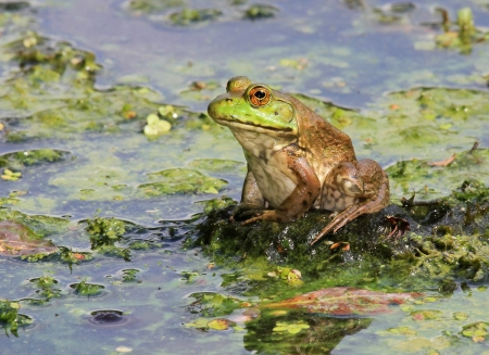 American Bullfrog sitting on a log in a lake in Maryland during the summer Stock Photo