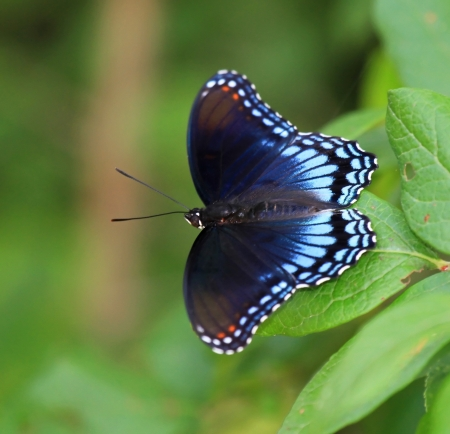 admiral: Red Spotted Purple butterfly resting on a leaf in Maryland during the summer