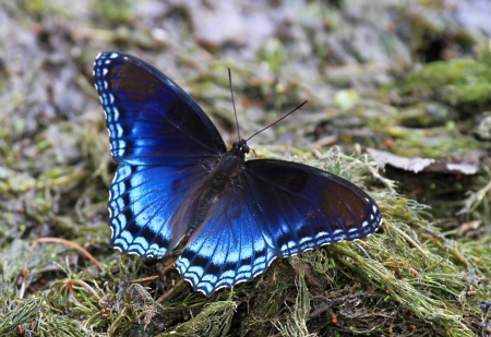 Red Spotted Purple butterfly puddling for minerals by a lake in Maryland during the summer Stock Photo