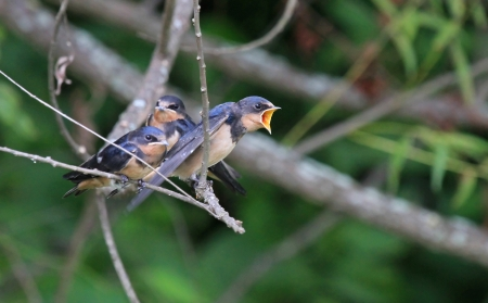 Three young Barn Swallow fledglings perching on a branch by wetlands in Maryland during the summer  photo