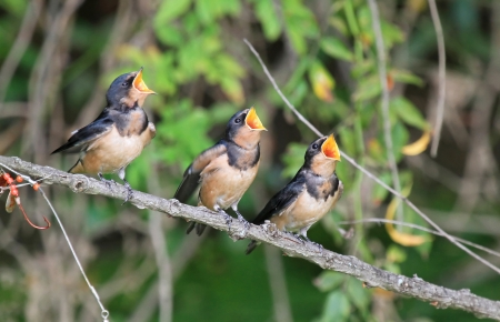 Three young Barn Swallow fledglings begging for food by wetlands in Maryland during the summer